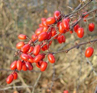 Baies de Berberis