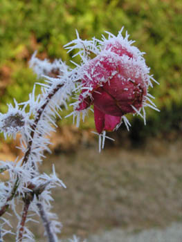 Rose rouge Hiver Givre
